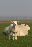gullig lamb little Royaltyfria Foton