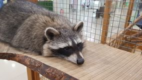 Gullig ledsen tvättbjörn i bur arkivbild