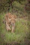 gullig lion för gröngöling Arkivfoto