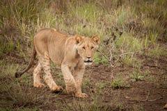 gullig lion för gröngöling Royaltyfri Fotografi