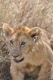gullig lion för gröngöling Arkivbilder