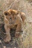 gullig lion för gröngöling Royaltyfri Bild