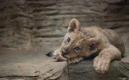 gullig lion för gröngöling Royaltyfria Foton