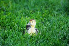 Gullig liten ankunge som nyfiket sitter i ett grönt gräs royaltyfri fotografi