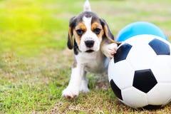 Gullig liten beagle med fotboll royaltyfria bilder