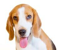 Gullig liten beaglehund som ler studioståenden Arkivbild