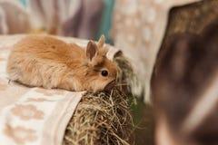 Gullig liten brun kanin royaltyfria foton
