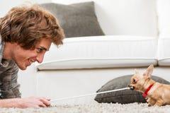 Gullig liten chihuahua som testar dess styrka Royaltyfria Foton