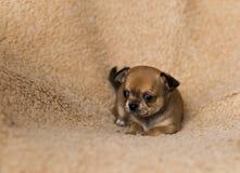Gullig liten chihuahuavalp för Ont royaltyfri bild