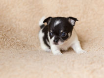 Gullig liten chihuahuavalp för Ont arkivbild