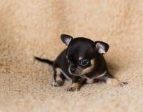 Gullig liten chihuahuavalp för Ont fotografering för bildbyråer