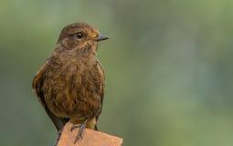 Gullig liten fågel - gemensam Bushchat kvinnlig Arkivfoton
