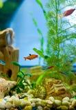 Gullig liten fisk i ett akvarium Fotografering för Bildbyråer