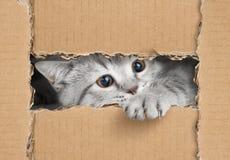 Gullig liten grå katt som ser till och med papphålet royaltyfri foto
