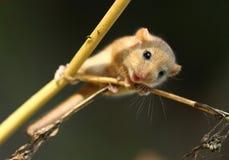 Gullig liten hasselmus Arkivfoto