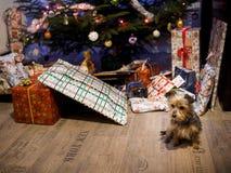 Gullig liten hund med gåvor och julgran royaltyfri fotografi