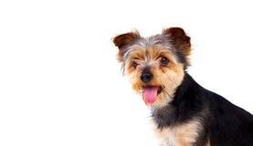 Gullig liten hund med klippt hår Royaltyfria Foton