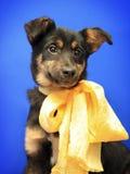 Gullig liten hund med pilbågen arkivbild