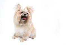 Gullig liten hund på vit bakgrund Royaltyfri Foto