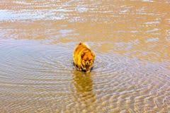 Gullig liten hund på en strand i vatten Arkivfoto