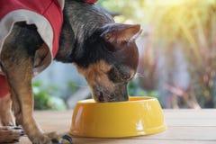 Gullig liten hund som äter med bunken av hundmat Husdjur matar lurar arkivfoton