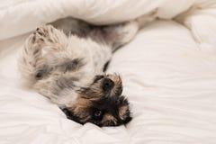 Gullig liten hund som sover i säng med vit sängkläder - stålar russell royaltyfria foton