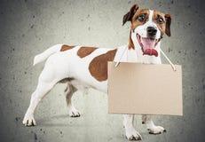 Gullig liten hundJack Russell terrier på grå färger Arkivbild