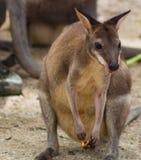Gullig liten känguru på zoo Fotografering för Bildbyråer