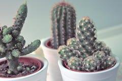 Gullig liten kaktus med vit Royaltyfri Fotografi