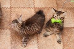 Gullig liten kattunge för stubbsvansad engelsk fårhund två Arkivfoto