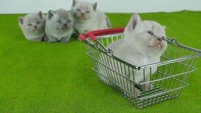 Gullig liten kattunge i en shoppa korg stock video