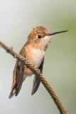 Gullig liten kolibri Arkivbilder
