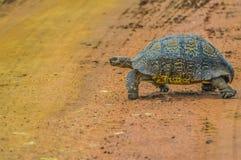 Gullig liten leopardsköldpadda som kryper på grusvägen i en modig reserv i Sydafrika royaltyfri fotografi