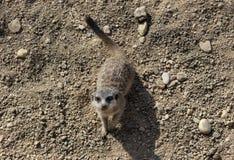 Gullig liten meerkat i zoo arkivbilder