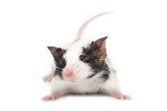 gullig liten mus Arkivfoton