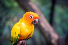 Gullig liten orange papegoja på en trädfilial Arkivbilder