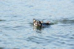 Gullig liten Shiba Inu hund i vatten royaltyfri bild
