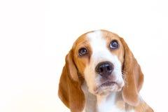 Gullig liten stående för beaglehundstudio Royaltyfri Fotografi