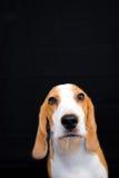 Gullig liten stående för beaglehundstudio - svart bakgrund Arkivbild