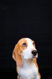 Gullig liten stående för beaglehundstudio - svart bakgrund Arkivfoton