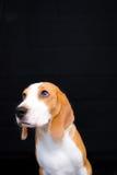 Gullig liten stående för beaglehundstudio - svart bakgrund Fotografering för Bildbyråer