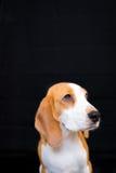Gullig liten stående för beaglehundstudio - svart bakgrund Royaltyfria Foton