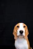 Gullig liten stående för beaglehundstudio - svart bakgrund Royaltyfria Bilder