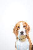 Gullig liten stående för beaglehundstudio - vit bakgrund Arkivbilder