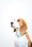 Gullig liten stående för beaglehundstudio - vit bakgrund Royaltyfria Foton