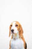 Gullig liten stående för beaglehundstudio - vit bakgrund Arkivfoton