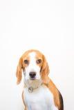 Gullig liten stående för beaglehundstudio - vit bakgrund Royaltyfri Foto