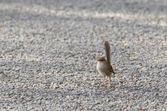 Gullig liten superb felik gärdsmyg, kvinnlig fågel för blå gärdsmyg i grå bro Arkivbild
