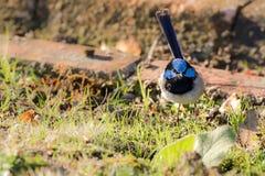 Gullig liten superb felik gärdsmyg, manlig fågel för blå gärdsmyg med distinkt Arkivfoto