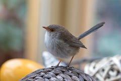 Gullig liten superb felik gärdsmygfågel med våta fjädrar som sätta sig på Arkivfoto
